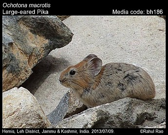 Ochotona macrotis - Large-eared Pika