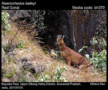 Naemorhedus baileyi - Red Goral