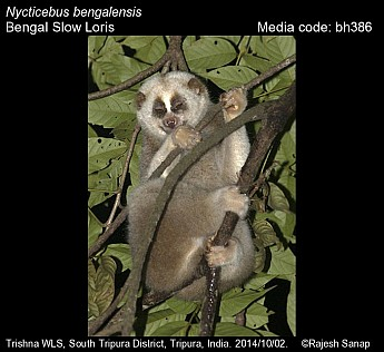 Nycticebus bengalensis