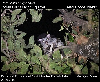 Petaurista philippensis - Indian Giant Flying Squirrel