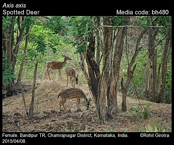 Axis axis - Spotted Deer