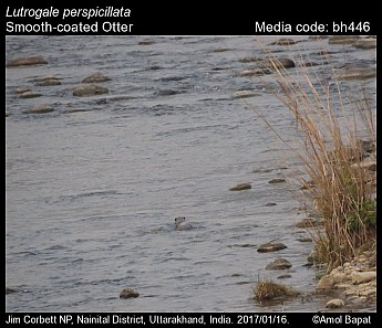 Lutrogale perspicillata - Smooth-coated Otter