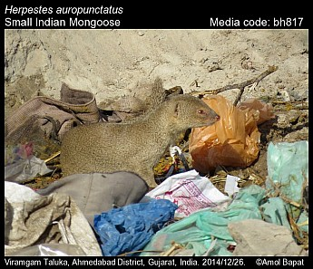 Herpestes auropunctatus - Small Indian Mongoose