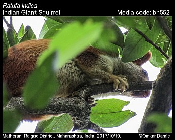 Ratufa indica - Indian Giant Squirrel