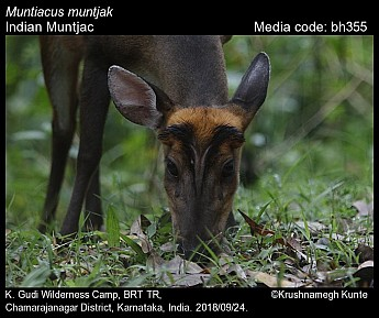 Muntiacus muntjak - Indian Muntjac