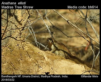 Anathana ellioti - Madras Tree Shrew