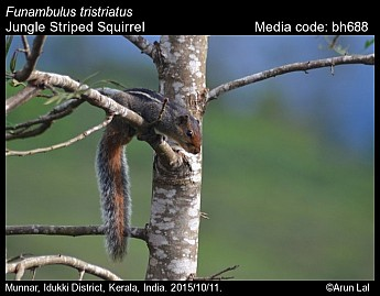 Funambulus tristriatus - Jungle Striped Squirrel