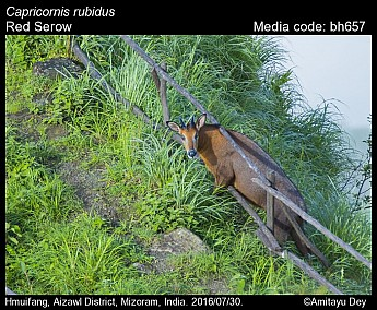 Capricornis rubidus - Red Serow