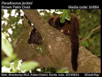 Paradoxurus jerdoni - Brown Palm Civet