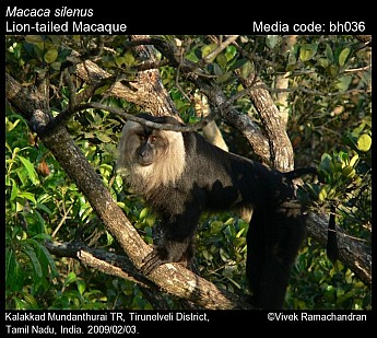 Macaca silenus - Lion-tailed Macaque
