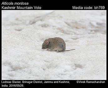 Alticola montosa - Kashmir Mountain Vole