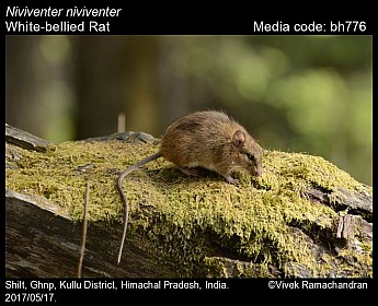 Niviventer niviventer - White-bellied Rat