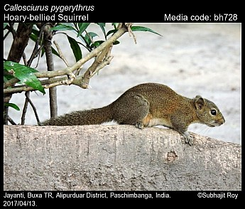 Callosciurus pygerythrus - Hoary-bellied Squirrel
