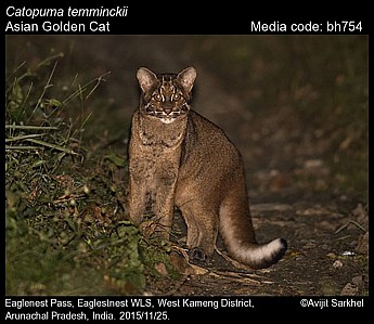Catopuma temminckii - Asian Golden Cat
