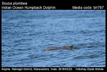 Sousa plumbea - Indo-Pacific Humpback Dolphin