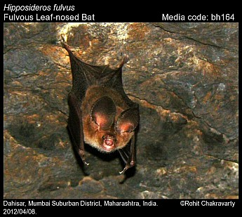 Hipposideros fulvus - Fulvous Leaf-nosed Bat