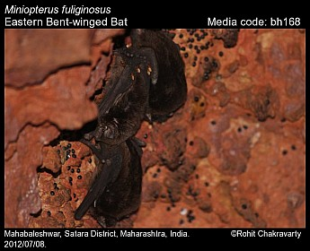 Miniopterus fuliginosus - Eastern Bent-winged Bat