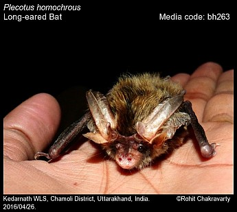 Plecotus homochrous - Long-eared Bat