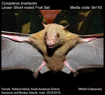 Cynopterus brachyotis - Lesser Short-nosed Fruit Bat