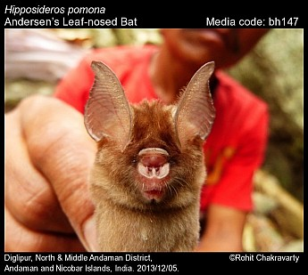 Hipposideros pomona - Andersen's Leaf-nosed Bat