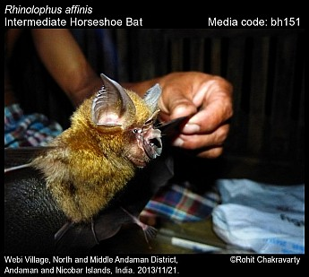 Rhinolophus affinis - Intermediate Horseshoe Bat