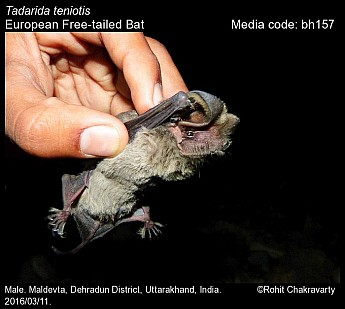 Tadarida teniotis - European Free-tailed Bat
