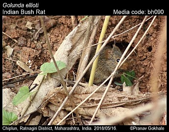 Golunda ellioti - Indian Bush Rat