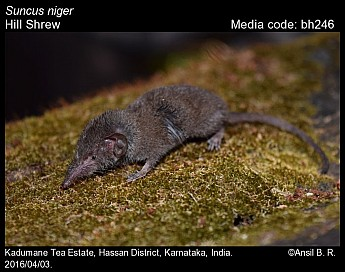 Suncus niger - Hill Shrew