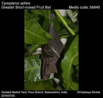 Cynopterus sphinx - Greater Short-nosed Fruit Bat