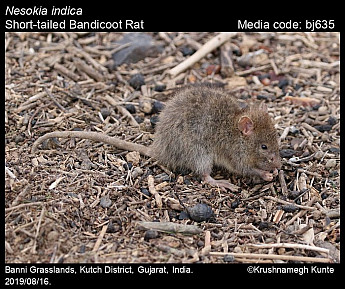 Nesokia indica - Short-tailed Bandicoot Rat