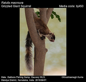 Ratufa macroura - Grizzled Giant Squirrel