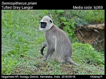 Semnopithecus priam - Tufted Grey Langur