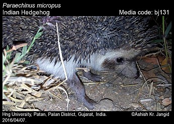 Paraechinus micropus - Indian Hedgehog