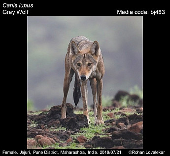 Canis lupus - Grey Wolf