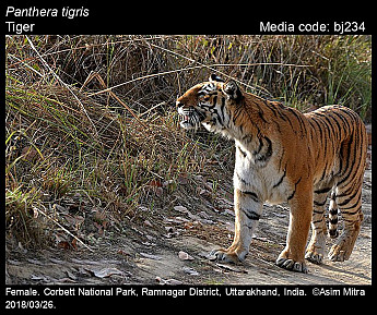 Panthera tigris - Tiger