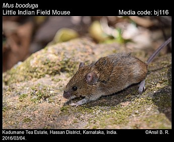 Mus booduga - Little Indian Field Mouse