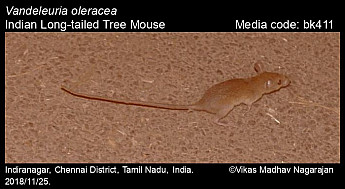 Vandeleuria oleracea - Indian Long-tailed Tree Mouse