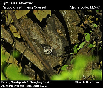 Hylopetes alboniger - Particoloured Flying Squirrel