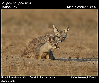 Vulpes bengalensis - Indian Fox