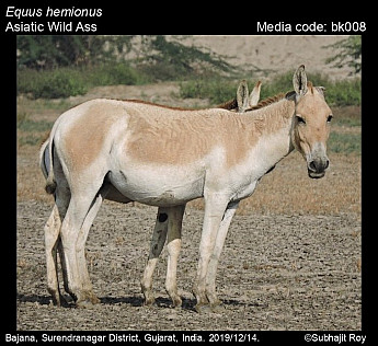 Equus hemionus - Asiatic Wild Ass