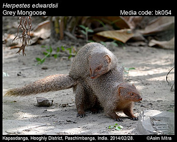 Herpestes edwardsii - Grey Mongoose